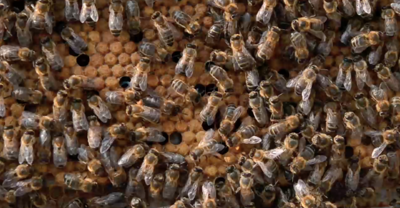 Bees Prefer Their Nectar Spiked With Caffeine