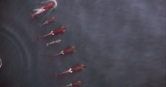 Drone Footage Sheds Light On Endangered Killer Whale Species