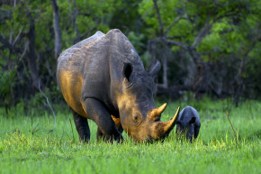 Why The IUCN Says White Rhinos Are NOT Near-Extinct