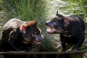 These Tasmanian Devils Beat Cancer And Returned To The Wild