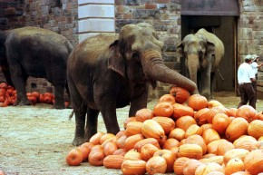 How Prehistoric Elephants Gave Us Pumpkin Pie