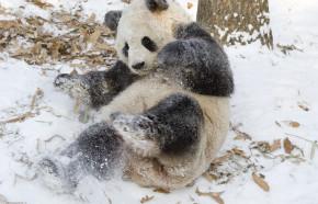 During The Blizzard, Tian Tian The Panda Was Bigger Than God
