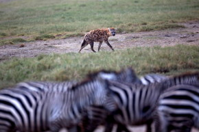 Scientists Discover Zebra Stripes Are NOT For Camouflage