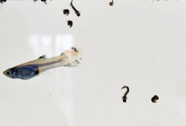 Guppy fish are seen in a fishbowl with Aedes aegypti mosquito larvae on February 17, 2016, in Cali, Colombia. Cali's Health Secretariat massively delivered mosquito nets to pregnant women and installed guppy fish bowls as a preventive measure against Aedes aegypti mosquito, vector of Zika, Dengue, and Chikungunya. Colombia registers 31,555 people infected with zika virus, of which 5,013 are pregnant women, reported the National Institute of Health (NIH). AFP PHOTO / LUIS ROBAYO / AFP / LUIS ROBAYO        (Photo credit should read LUIS ROBAYO/AFP/Getty Images)