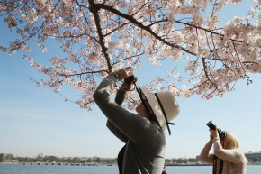 D.C.'s Cherry Blossoms Are The Perfect #NoFilter Shot