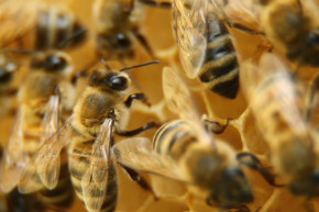 Here's Why Honey Bees Are Dying Off