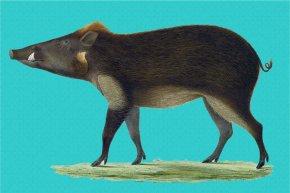 This Adorable Warty Pig Is Now On The Verge Of Extinction
