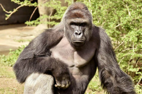 Shooting Of Cincinnati Gorilla Somehow Is Also About Race