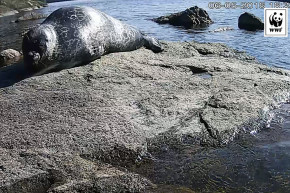 Rare Finnish Seal Is Webcamming—To Save Its Life