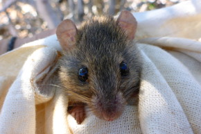 Meet The First Mammal To Go Extinct Because Of Climate Change