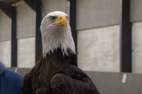 Bald Eagle Owns Canada Goose In Epic Match, Americans Rejoice