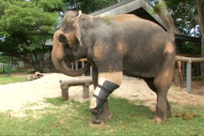 This 4,000 Pound Elephant Just Got A New Prosthetic Leg