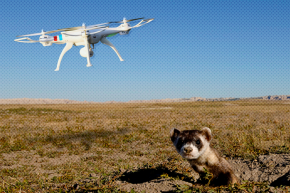 Drones Will Drop Vaccine-Laced Candy To Save Ferrets