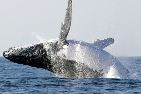 Why Humpback Whales Are Saving Animals From Hungry Orcas
