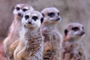Meerkats, Sea Lions, Chinchillas Top List Of Murderous Mammals