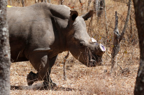 Zimbabwe Plans To Cut The Horns Off Rhinos To Save Them