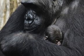 Most Great Apes Now Face Extinction