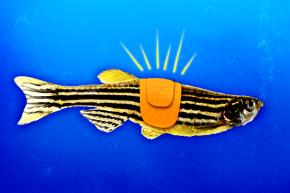 Zebrafish Hold The Secret To Healing A Broken Spine