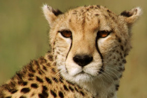 Cheetahs The Latest Animal To Be Screwed By 2016