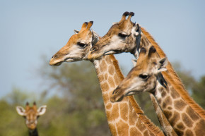 Damn It, Now Giraffes Are Being Hunted To Extinction As Well