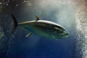 One At-Risk Bluefin Tuna Sells For More Than $600,000