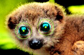 Scientists Built A Face Recognition System For Lemurs