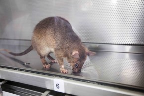 These Rats Can Detect Tuberculosis With Their Noses