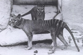 Pair Of Sightings Set Off Search For Long Extinct Tasmanian Tigers
