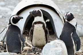 Saving African Penguins By Crowdfunding Them New Artificial Nests